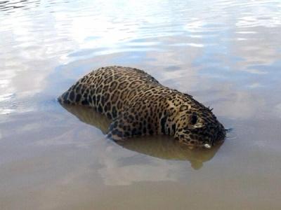 Onça-pintada foi encontrada boiando nas águas do Rio Teles Pires